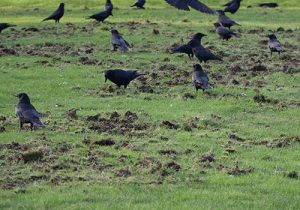 crows destroying grass lawn eating chafer beatle
