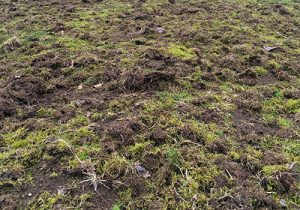 overturned grass destroyed by crows