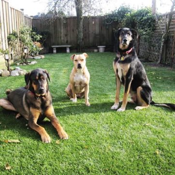 three dogs sitting on artificial grass lawn in backyard of residential town home