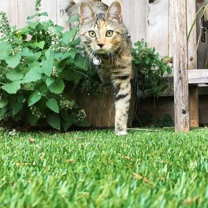 close up photo of pet cat walking on artificial grass outdoors