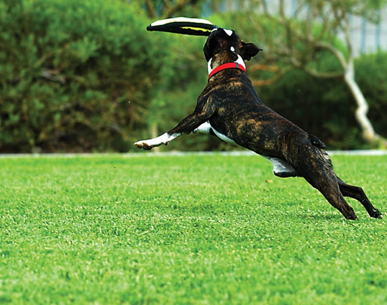 dog catching frisbee on artificial grass lawn